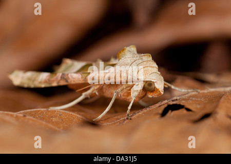 An angle shades moth rests on leaf litter in Hampshire - Stock Photo