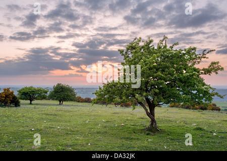 Hawthorn tree on East Hill at sunset Dartmoor national park Devon Uk - Stock Photo