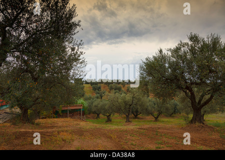 Olive grove in the light of the storm,Maremma - Stock Photo