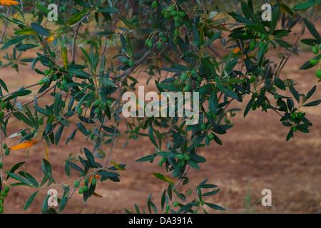 Olive Branches,Maremma - Stock Photo