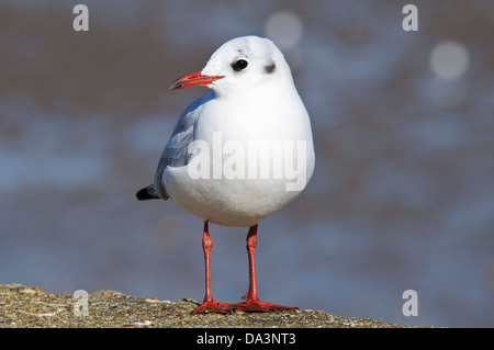 An adult black-headed gull (Larus ridibundus) in winter plumages standing on the sea wall at Leysdown-on-Sea. - Stock Photo