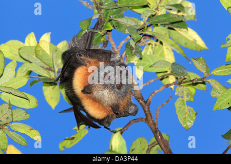 Grey Headed Flying Fox, Pteropus poliocephalus. Endemic to eastern Australia and are listed as vulnerable on the - Stock Photo