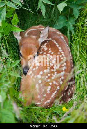 White-tailed Deer Fawn (Odocoileus virginianus) hiding in tall grass Stock Photo
