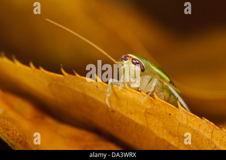 A green banana cockroach (Panchlora nivea) on an autumn leaf. A native of Cuba, the Caribbean and some southern - Stock Photo