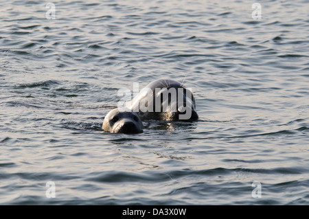 An adult female grey seal (Halichoerus grypus) with a pup in the water off Blakeney point, Norfolk. November. - Stock Photo