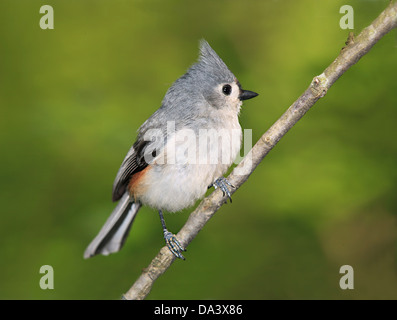 A Cute Little Bird, The Tufted Titmouse, Nicely Posing With It's Crest Raised And It's Feathers Fluffed, Parus bicolor - Stock Photo