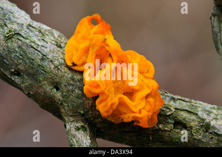 A fruiting body of yellow brain fungus (Tremella mesenterica) growing on a twig at Gilfach Farm Nature Reserve, - Stock Photo