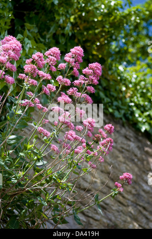 Pink flowering Valerian plant growing out of old stone wall taken in Frome, UK - Stock Photo