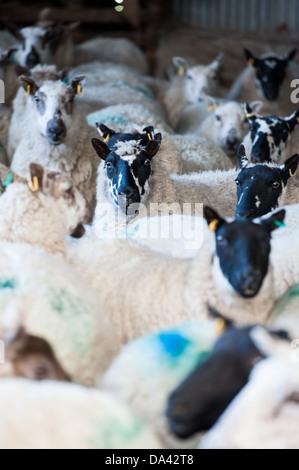 sheep in a pen during lambing season - Stock Photo