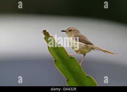 Plain Prinia (Prinia inornata flavirostris) adult, perched on succulent leaf with ant, Taiwan, April - Stock Photo