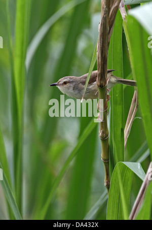 Plain Prinia (Prinia inornata flavirostris) adult, perched on stem, Taiwan, April - Stock Photo