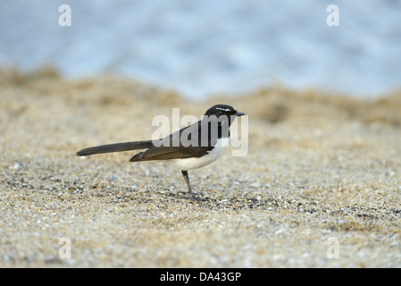 Willie Wagtail (Rhipidura leucophrys) adult, standing on sandy beach, Queensland, Australia, November - Stock Photo