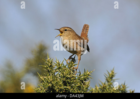 Eurasian Wren (Troglodytes troglodytes) adult, singing, perched on gorse bush, Norfolk, England, March - Stock Photo