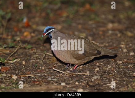 Blue-headed Quail-dove (Starnoenas cyanocephala) adult walking on forest floor Zapata Peninsula Matanzas Province - Stock Photo