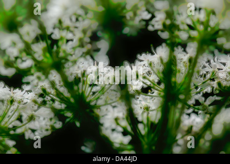Cow Parsley (Anthriscus sylvestris) flowers - Stock Photo