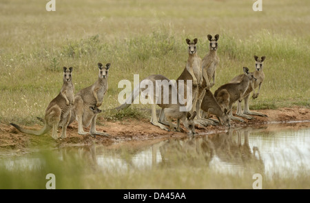Eastern Grey Kangaroo (Macropus giganteus) family group, drinking at waterhole, Victoria, Australia, November - Stock Photo