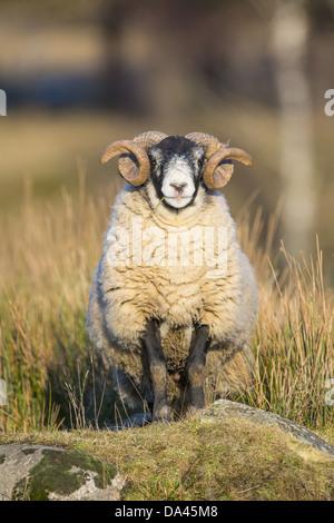 Domestic Sheep, Scottish Blackface, ram, standing on rock, Grampian Mountains, Aberdeenshire, Highlands, Scotland, - Stock Photo