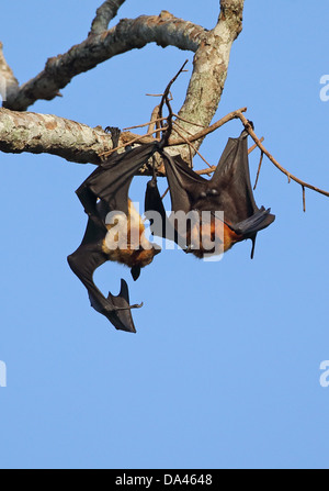 Lyle's Flying Fox (Pteropus lylei) two adult males, fighting at daytime roost, Siem Reap, Cambodia, January - Stock Photo