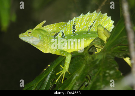 Plumed Basilisk (Basiliscus plumifrons) adult male climbing on leaves in primary rainforest Tortuguero N.P. Limon - Stock Photo