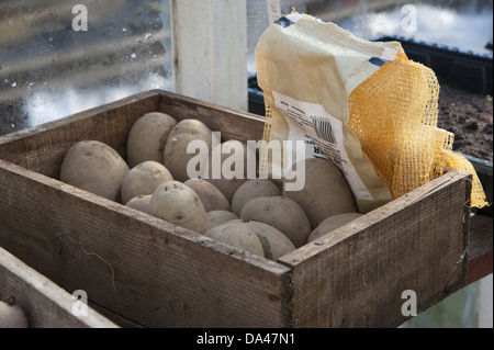 Potato (Solanum tuberosum) 'Maris Piper' variety seed tubers in wooden box in garden greenhouse Chipping Lancashire - Stock Photo