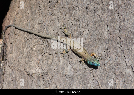 A Blue-throated Keeled Lizard (Algyroides nigropunctatus) on the grounds of the Achilleion, on Kerkira (Corfu), - Stock Photo