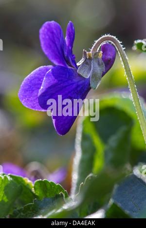 Wood violet / sweet violets / English violet (Viola odorata) in flower in spring - Stock Photo