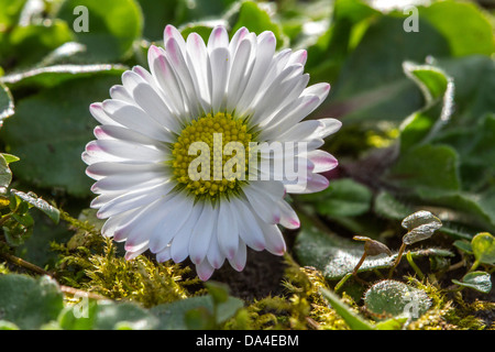 Common daisy / lawn daisy / English daisy (Bellis perennis) in flower in spring - Stock Photo