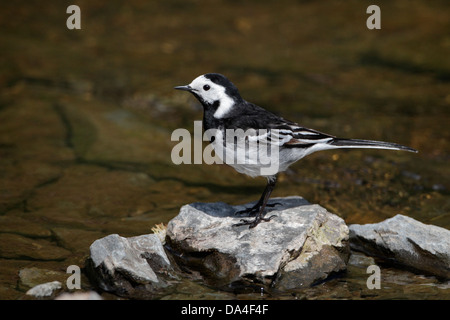 Pied Wagtail (Motacilla alba) perched on stone in stream, North Wales, UK, May 7624 - Stock Photo