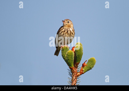 Tree Pipit (Anthus trivialis) singing in cleared forest North wales UK June 1326 - Stock Photo