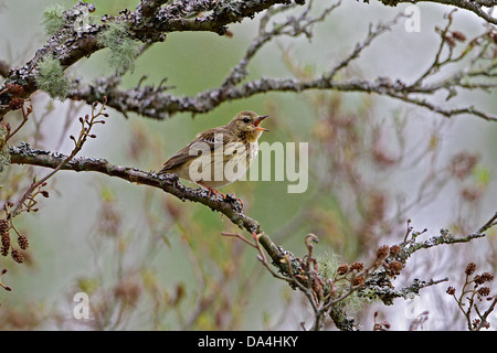 Tree Pipit (Anthus trivialis) singing in tree in woodland on hillside, North Wales, UK, May 2010 8025 - Stock Photo
