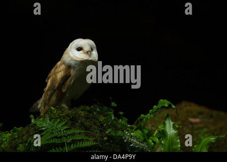 European Barn Owl (tyto alba) perched on a rock peering into the night sky - Stock Photo