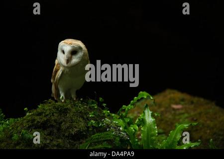 European Barn Owl (tyto alba) perched on a rock at night - Stock Photo