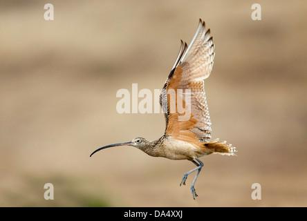 Long-billed Curlew Numenius americanus Moss Landing, California, United States 24 June Adult in flight. Scolopacidae - Stock Photo