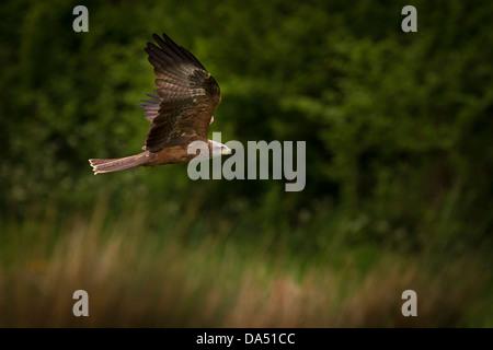 Black Kite in flight - Stock Photo
