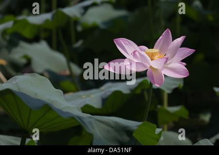close-up of a lotus, lotus leaf around it - Stock Photo