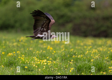 Hooded Vulture in flight - Stock Photo