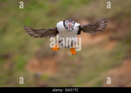 Puffin with sandeels in its beak, landing