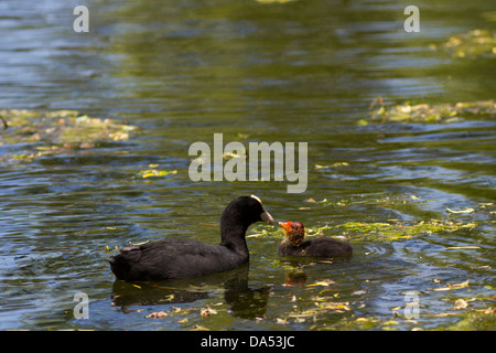 Common/Eurasian Coot, Fulica altra feeding its young chick on a pond, London, England, UK - Stock Photo