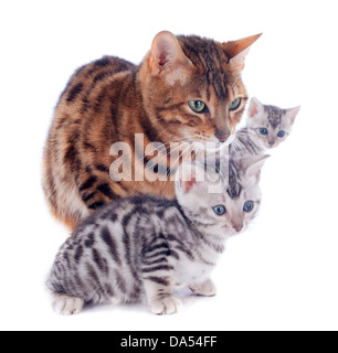 portrait of a purebred bengal kitten and mother on a white background - Stock Photo