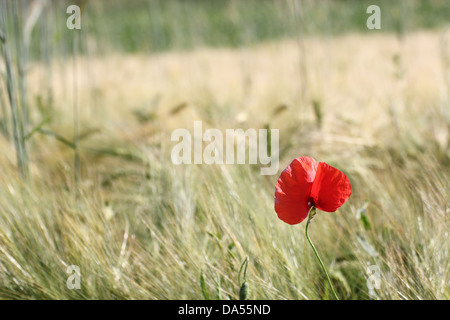 minimalist view of a beautiful red poppy growing in a corn cultivated filed - Stock Photo