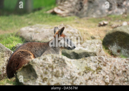 Swamp wallaby (Wallabia bicolor) resting in the rocks - Stock Photo