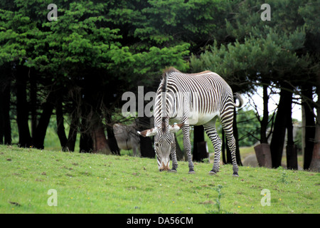 Grevy's zebra (Equus grevyi) grazing in a field of grass - Stock Photo