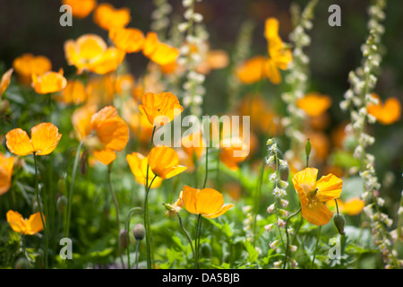 Escholtzia californica 'California poppies' Yellow flowers - Stock Photo