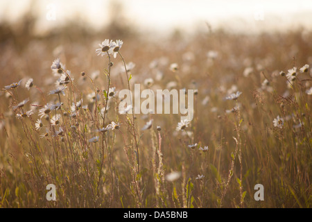 Backlit Oxeye Daisies on a summers evening the Gog Magog Hills Cambridge England UK - Stock Photo