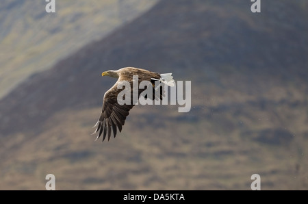 White Tailed Sea Eagle(Haliaeetus albicilla) Isle of Mull flying back towards eyrie with captured fish Stock Photo