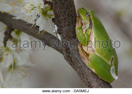 Austria, Europe, Burgenland, amphibian, Hylianea, European tree frog, tree frog, frog, Hyla arborea, busch - Stock Photo