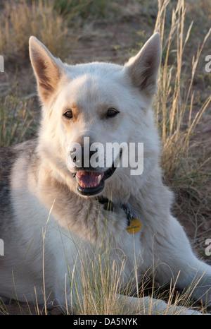 Wolfdog (White German Shepherd - wolf cross) outdoors on ranch - Stock Photo