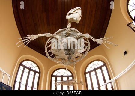 sea turtle skeleton at fishing museum, Santos city, Sao Paulo, Brazil - Stock Photo