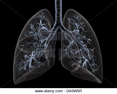 Digital medical illustration depicting the human lungs in. Transparent lungs reveal the trachea and bronchi. - Stock Photo