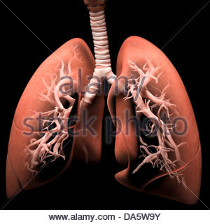 Digital medical illustration depicting the human respiratory system. Transparent lungs reveal the trachea and bronchi. - Stock Photo